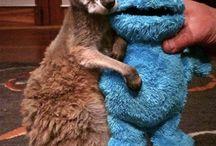 kenguru szerelem