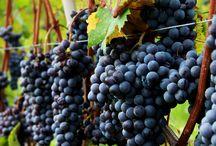 VIGNE&VINI / Vigne Vini Bottiglie Attrezzi per il Vino
