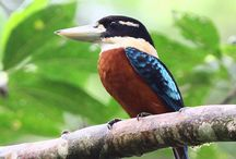 18 Day Papua New Guinea Birding Tour / 18-day Papua New Guinea birding tour covers the avian highlights of this enchanting and under-travelled country in depth. View many different Bird-of-paradise species!