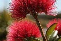 New Zealand Native Trees & Plants