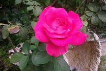 lugica dei fiori
