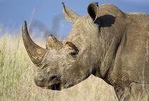 Tapety - zwierzęta - nosorożce