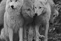 Wolves and other animals / Mainly wolfs. Other animals too.