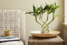 """Bambú de la suerte / Dracaena braunii. Comúnmente llamada """"Bambú de la suerte"""", no debe ser confundida con los verdaderos bambúes, ya que estos están emparentados filogenéticamente con los pastos; en cambio el género Dracaena, tiene relación con la familia de los agaves e incluso con la familia de las cebollas."""