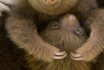 Animals: Sloth