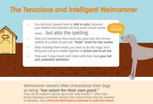 About Weimaraners