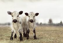 I <3 Cows! / by happi souls