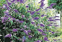 shrubs for garden