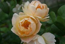 Rosor  Roses