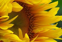 Sunflowers / by Les B