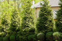 Screening Plantings / Great Evergreens to create a green screen or living fence