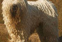 PASTORES-Komondor / El Komondor es una raza de perro guardián y pastor, originario de Hungría. Su principal característica es el peculiar aspecto de su pelaje, que cae formando mechones parecidos a los dreadlocks usados por los rastas. Al igual que la mayoría de los perros de pastoreo, el komondor es un perro calmo y tranquilo siempre que la situación sea normal. En caso de peligro defenderá valientemente los rebaños a su cargo, este instinto se refleja también con su familia y territorio.