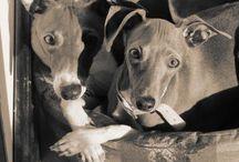 Retired Racing Greyhounds / Retired Racing Greyhounds