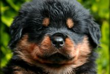 Rottweilers / by Carrie Mulcahy