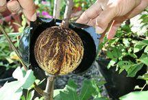 Beskärning / Att formklippa o även föröka växter