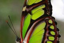 Pillangok