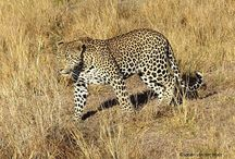 Blog Posts: Wildlife / All the Wildlife South Africa blogs posts related to wildlife.