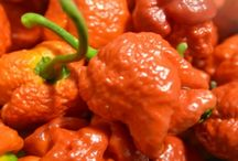 Red Moruga Scorpion Seeds and Plants / by Bhut Jolokia