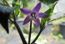 Chili Blüten