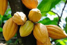 cacao oogst cacao harvesting / by Binet Brasser