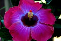 Hibiscus / Find everything you need to know about growing both hardy and tropical hibiscus here!
