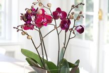 orchids (care&decor)