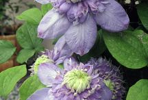 Clematis hybrid Vanso Blue Light® USPP #15953 / gorgeous double blooms for two-three months in early spring summer, re- blooming in September with mostly single blooms. Easy easy care, hardy, what a performer!