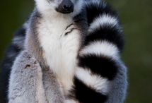 ANIMALS // Lemur