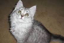 Siberian Cats / Siberian Cats - Are they hypoallergenic? Are they dog like? Do they play fetch? Can they use the toilet? All this and more. Plus, they're super cute.