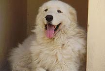 KUVASZ=chien hongrois