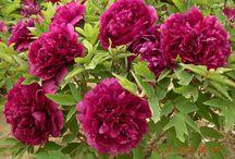 Alternatives to Tree Peony 'Boreas' / Other red-flowered tree peonies