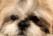Shih Tzu / Cute Dogs / by Sylvia Coons