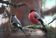 Fåglar vanliga