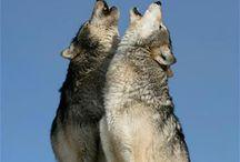 オオカミ【Wolf】