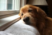Golden Retrievers Hold a Special Place in My Heart / by Morgan Roose