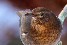Ilyen madarak vannak az udvarunkon / Fekete rigó tojó