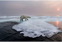 Polar bears / Polar bears are dieing  nearly every second of the day. Please turn of electronically powered things when you're not useing it, donate to wwf (worldwildlifefund)or change to solar power to save them