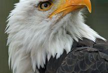 BIRDS - Eagle