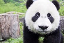 Pandas / The cutest animal in the world