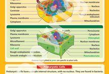Cellene våre.