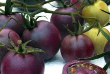 cherry  purple  tomato