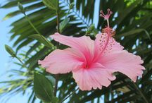 Hibiscus Dreaming