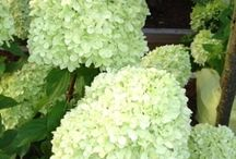 Hydrangeas! / These great summer bloomers are a staple of the northern garden.  Includes Hydrangea macrophylla, Endless  Summer hydrnagea, oakleaf hydrangea (Hydrangea quercifolia), pee gee hydrangea (Hydrangea paniculata), and smooth hydrangea (Hydrangea aborescens)
