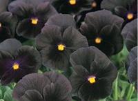 massif gothique / des plantes aux fleurs ou feuillage noirs ou très foncé pour une ambiance gothique au jardin d'ornement