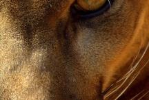 Mnt Lion