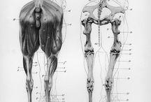 Anatomy Equine