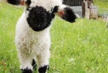I love sheep  / I really want a pet lamb. This is why.