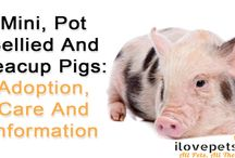 Pigs As Pets