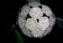 Hoya Sp. Sumatera - Fazza Hoya Indonesia