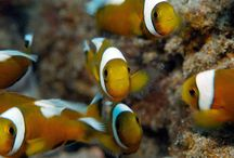 Philippines Diving Videos / Videos of marine life from the Philippines, including Anilao.